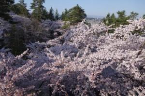桜を真上から見たら飛び込みたくなりました