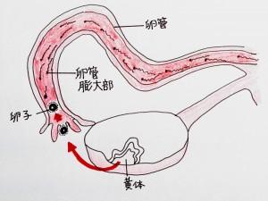 不妊治療の基礎_6